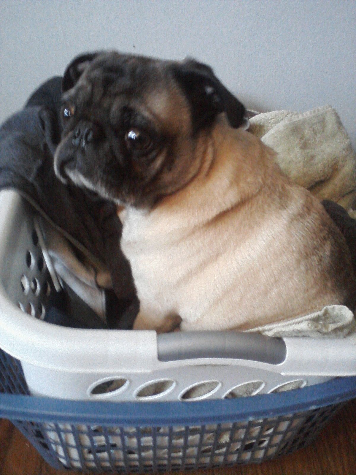 Is My Pug Pregnancy http://lovelifeandpugs.wordpress.com/category/pug/